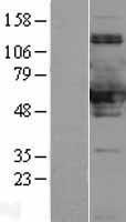 NBL1-16322 - SNX8 Lysate