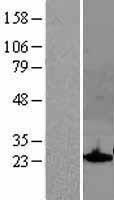 NBL1-16325 - SOCS1 Lysate
