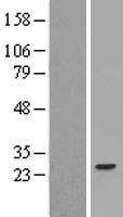 NBL1-16327 - SOCS3 Lysate