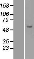 NBL1-16330 - SOCS5 Lysate