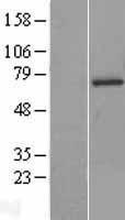 NBL1-16331 - SOCS6 Lysate