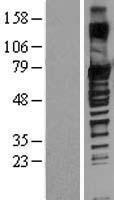 NBL1-16346 - SOX13 Lysate