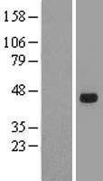 NBL1-16355 - SOX7 Lysate