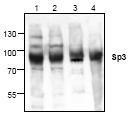 NBP1-45867 - SP3 / SPR-2