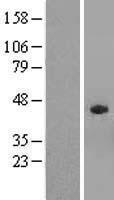 NBL1-16364 - SPAG4L Lysate