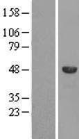NBL1-16368 - SPAG8 Lysate