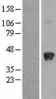 NBL1-16372 - SPARC Lysate
