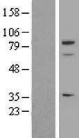 NBL1-16373 - SPARCL1 Lysate