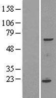 NBL1-16375 - SPATA16 Lysate
