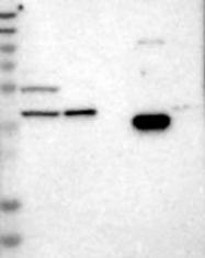 NBP1-80731 - SPATA4 / TSARG2