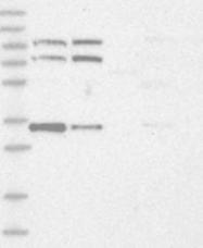 NBP1-89214 - SPATA5