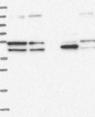 NBP1-83194 - SPATA7 / HSD3