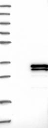 NBP1-83493 - SPATA9