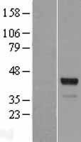 NBL1-16390 - SPDEF Lysate