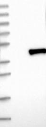 NBP1-88469 - SPEM1