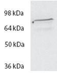 NBP1-47203 - Spartin / SPG20