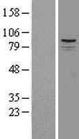 NBL1-16397 - SPG7 Lysate