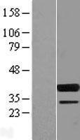 NBL1-16399 - SPIB Lysate