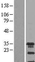 NBL1-16402 - SPIN2A Lysate