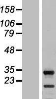 NBL1-16403 - SPIN2B Lysate