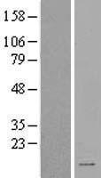 NBL1-16406 - SPINK2 Lysate