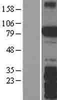 NBL1-16411 - SPIRE2 Lysate