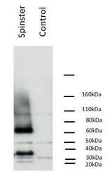 NBP1-19018 - SPNS1