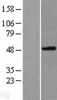 NBL1-16416 - SPOCK3 Lysate