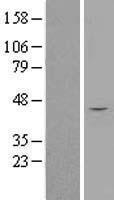 NBL1-16419 - SPOP Lysate