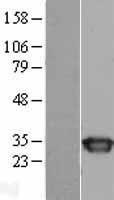 NBL1-16428 - SPR Lysate