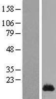 NBL1-16430 - SPRR1A Lysate