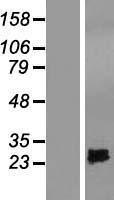 NBL1-16436 - SPRYD4 Lysate