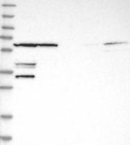 NBP1-87007 - SUPT3H / SPT3