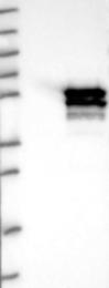 NBP1-82053 - SPZ1 / TSP1