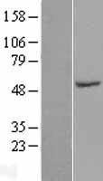 NBL1-16443 - SPZ1 Lysate