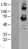 NBL1-15720 - SR-BI Lysate