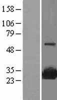 NBL1-16450 - SR1 Lysate