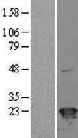 NBL1-16451 - SR1 Lysate