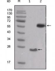 NBP1-47524 - SRC1