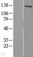NBL1-13515 - SRC1 Lysate