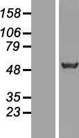 NBL1-16448 - SRFBP1 Lysate