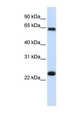 NBP1-54603 - KPNA1 / Importin alpha-1