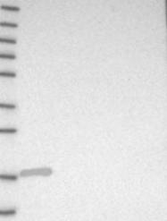 NBP1-89507 - SRP19
