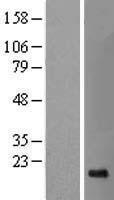 NBL1-16453 - SRP19 Lysate