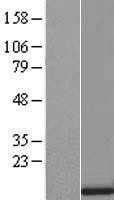 NBL1-16454 - SRP9 Lysate