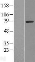 NBL1-16455 - SRPK1 Lysate