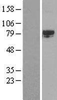 NBL1-16456 - SRPK2 Lysate