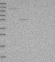 NBP1-86999 - SRPX2 / SRPUL