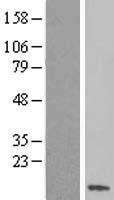 NBL1-16463 - SS18L2 Lysate
