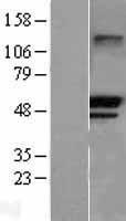 NBL1-17281 - SSA1 Lysate